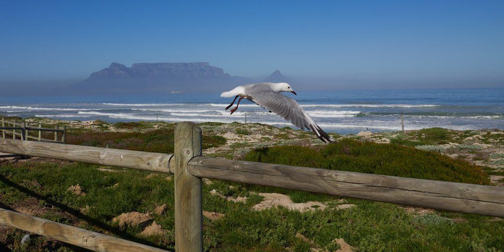 Blouberg-Strand-seagulls
