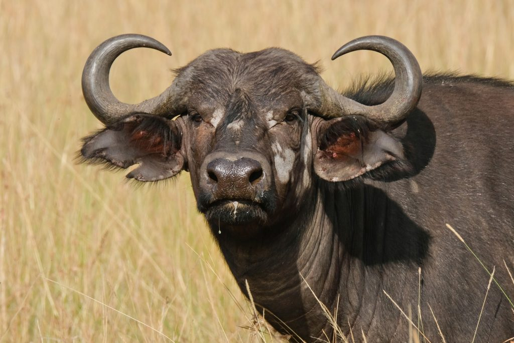 african buffalo in the wild