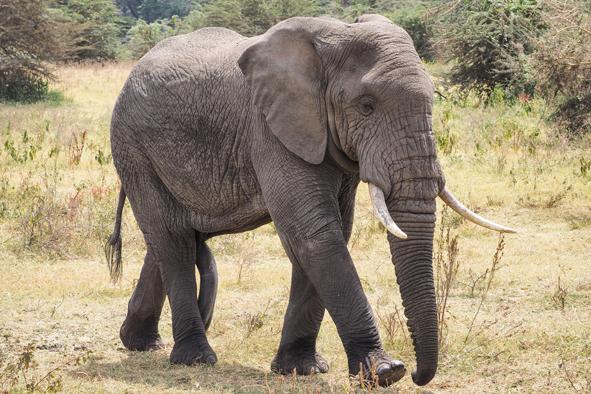african elephant wildlife