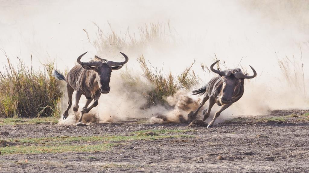 south africa gnus running fast