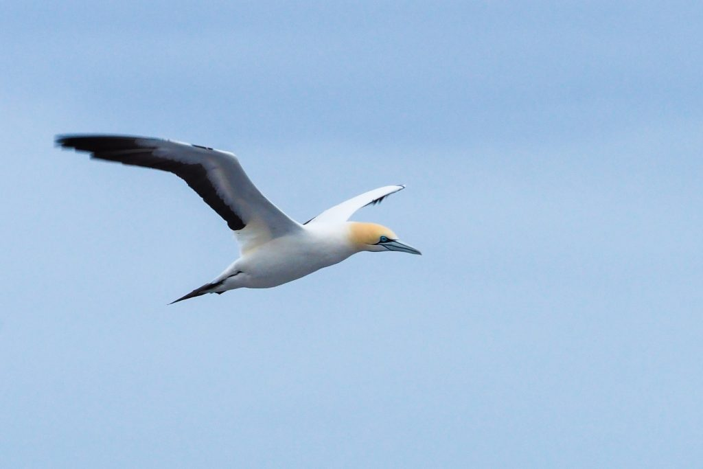 cape gannet south african wildlife
