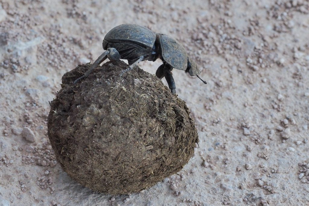 dung beetle south african nature