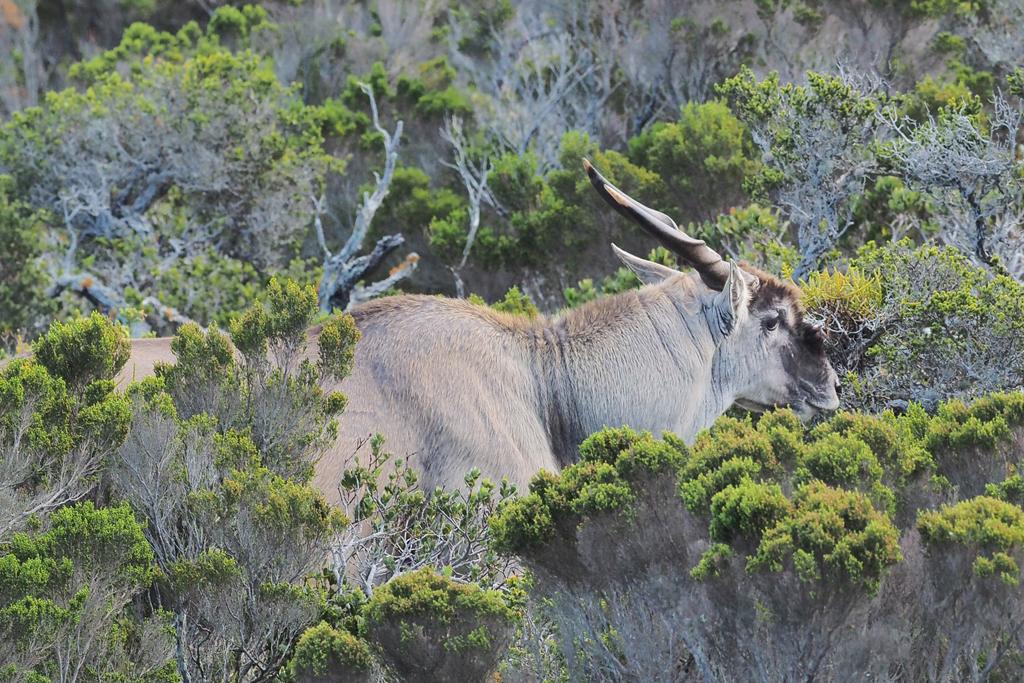 eland antelope wildlife south africa