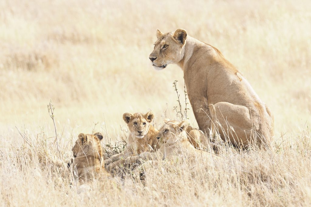 female lion with young animal pup