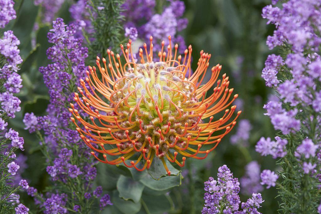 fynbos-proteas-pincushion