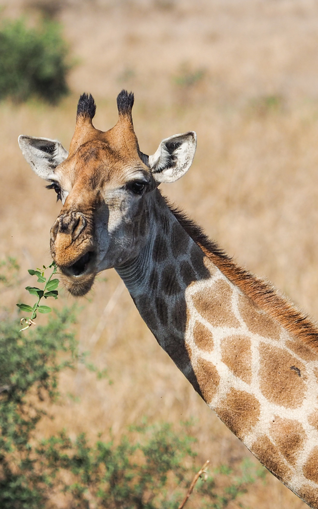 giraffe south african wildlife
