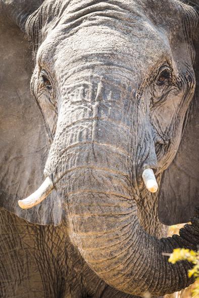 ivory elephant south africa
