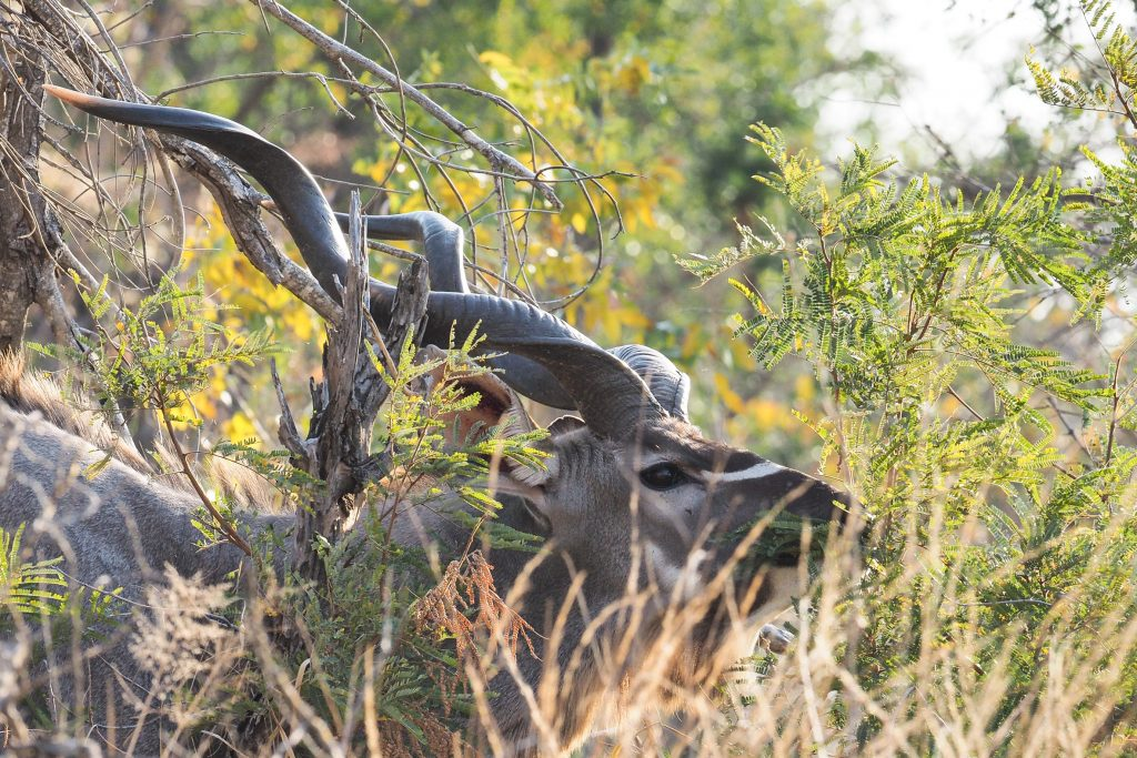 kudu antelope wildlife