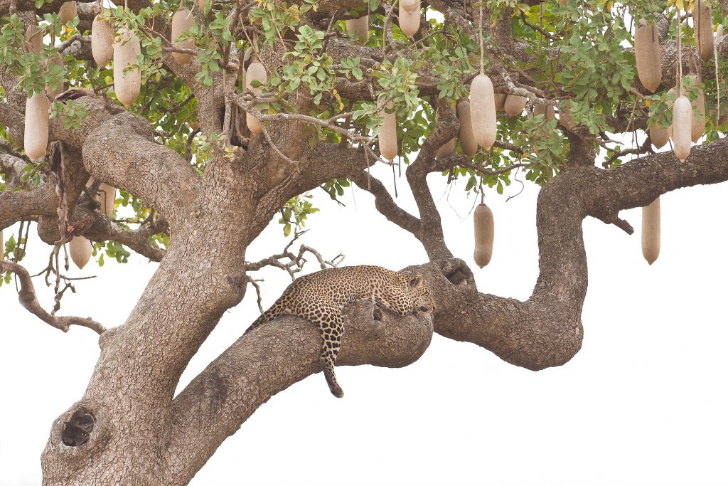 leopard sausage tree