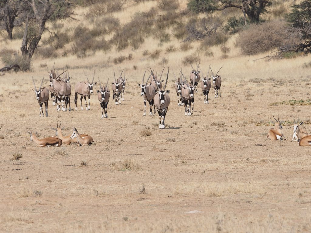 oryx antelopes south africa wildlife