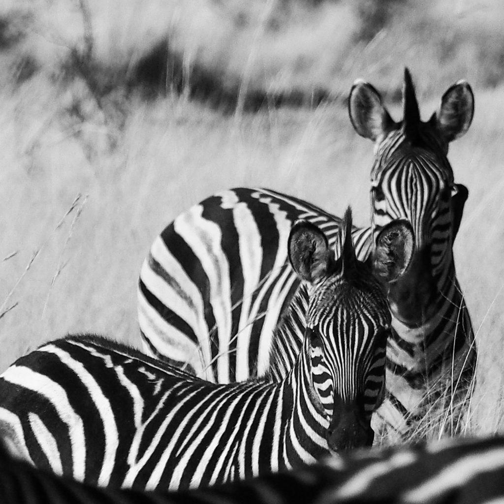 plains zebra south africa