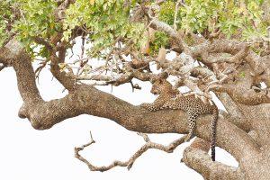 big five leopard south africa safari tour