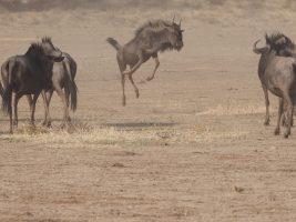 gnus south africa safari